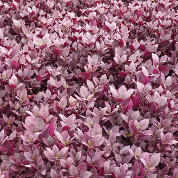Alternanthera Little Ruby  ] 1581230140P - Flower Power