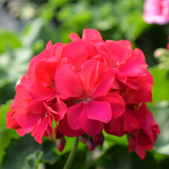 Geranium Big Pink Hanging Basket  ] 1605350025P - Flower Power