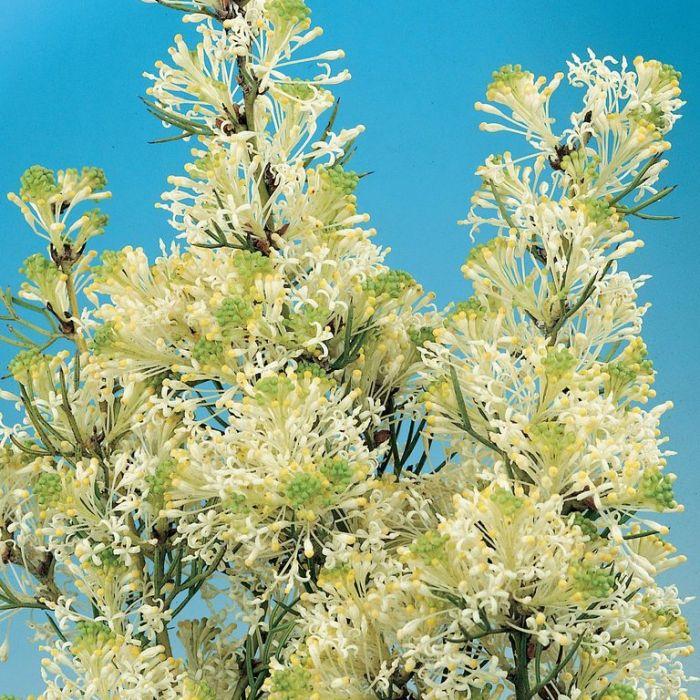 Grevillea Biternata  ] 1614800200 - Flower Power