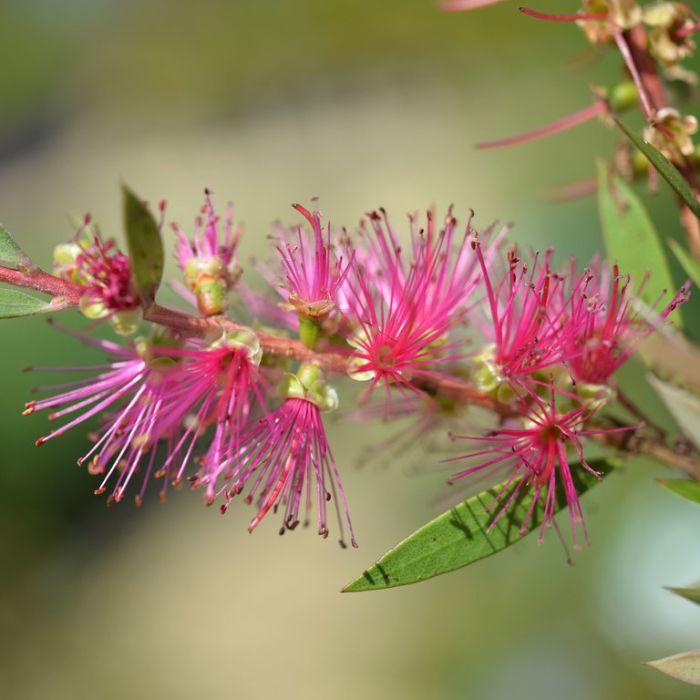 Bottlebrush 'Mauve Mist'  ] 1619600200P - Flower Power