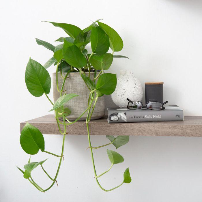 Jade Pothos Hanging Basket  ] 1623660017P - Flower Power