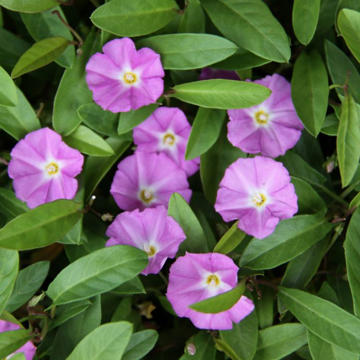 Convolvulus 'Pink Sapphire' Hanging Basket  ] 1623760020P - Flower Power