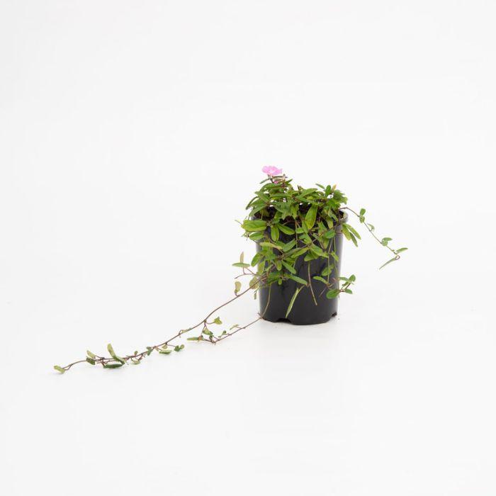 Convolvulus Pink Sapphire  ] 1623760140 - Flower Power