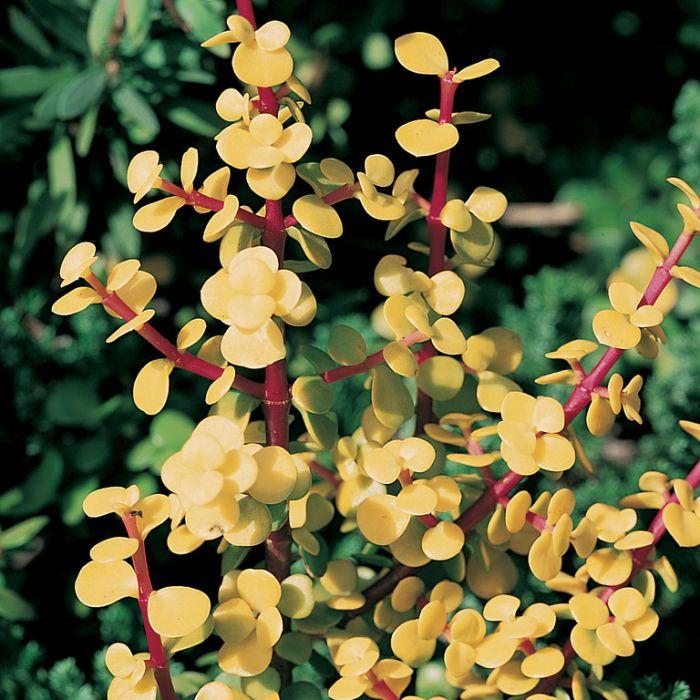 Golden Jade Hanging Basket  ] 1624190017 - Flower Power