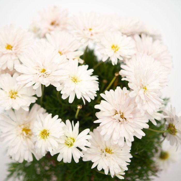 Federation Daisy Super Duper  ] 1627600140P - Flower Power