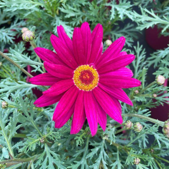 Federation Daisy Superior Purple  ] 1627610140P - Flower Power