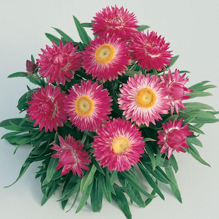 Bracteantha Jumbo Light Pink  ] 1629390140 - Flower Power