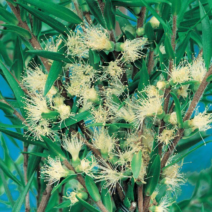 Melaleuca Revolution Green  ] 1630700200P - Flower Power