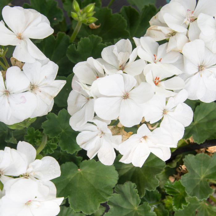 Geranium 'Ivy White' Hanging Basket  ] 1632480020P - Flower Power