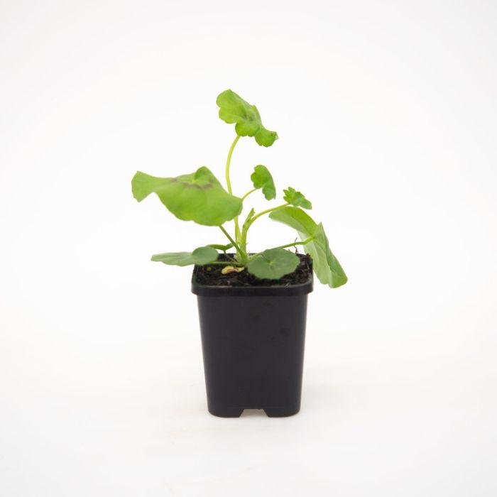 Geranium White  ] 1632480085 - Flower Power