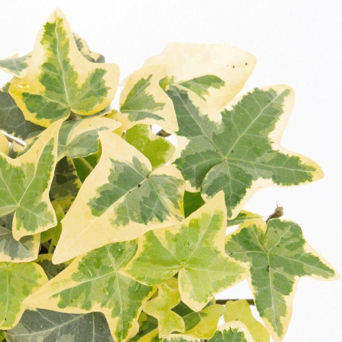 Hedera helix 'Cascade Gold'  ] 1637560125P - Flower Power