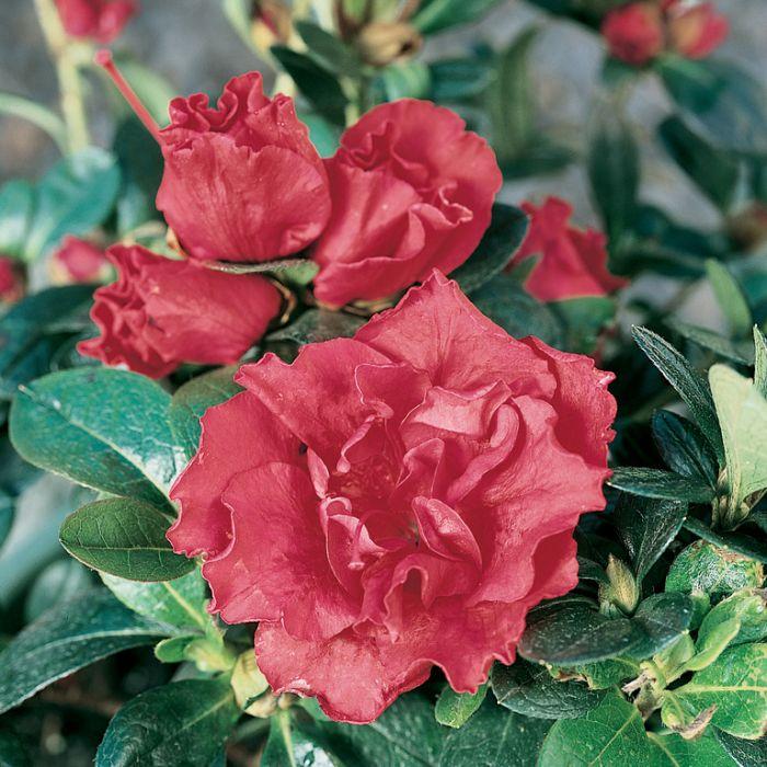 Azalea Goyet  ] 1637920140P - Flower Power