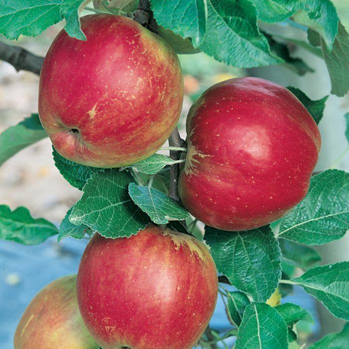 Apple Jonathan Dwarf  ] 1638250250 - Flower Power