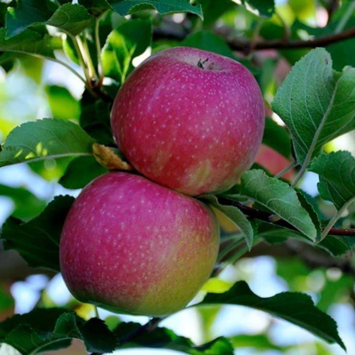 Apple Pinkabelle Dwarf  ] 1638270250 - Flower Power