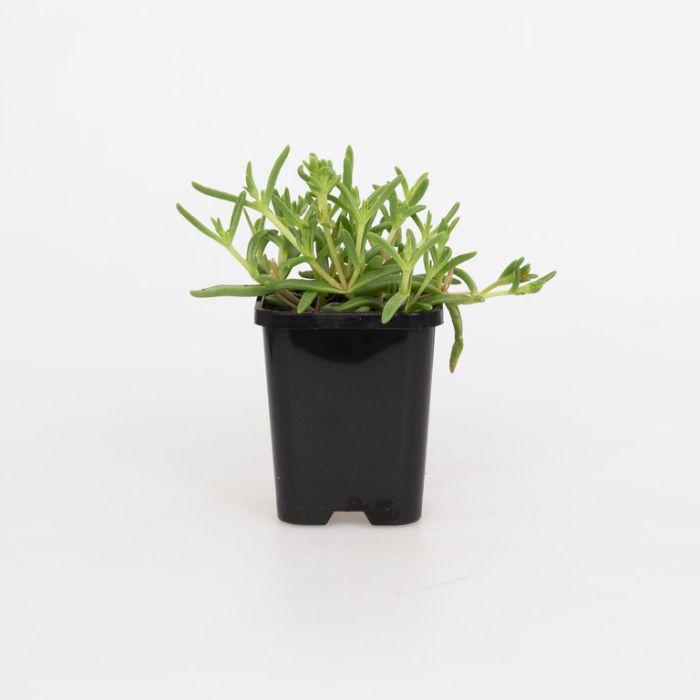 Delosperma Gold  ] 1648340085 - Flower Power