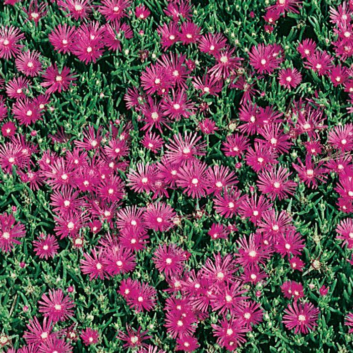 Delosperma Hot Pink  ] 1648350085 - Flower Power