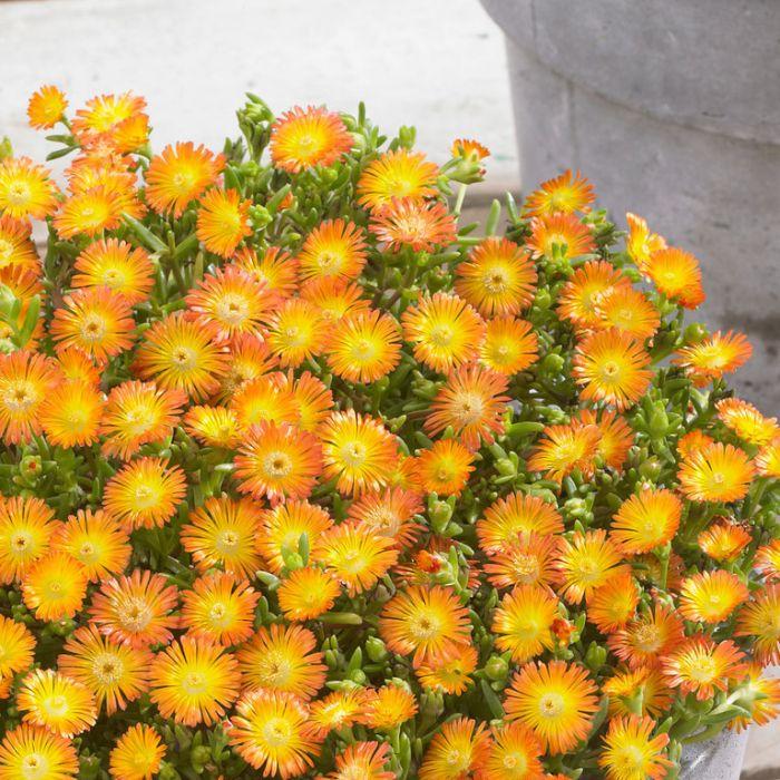Delosperma Wheels of Wonder Orange  ] 1648360140 - Flower Power