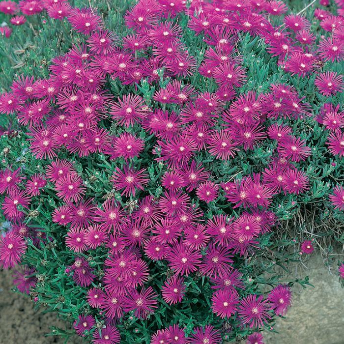 Delosperma Wheels of Wonder Violet  ] 1648370140 - Flower Power