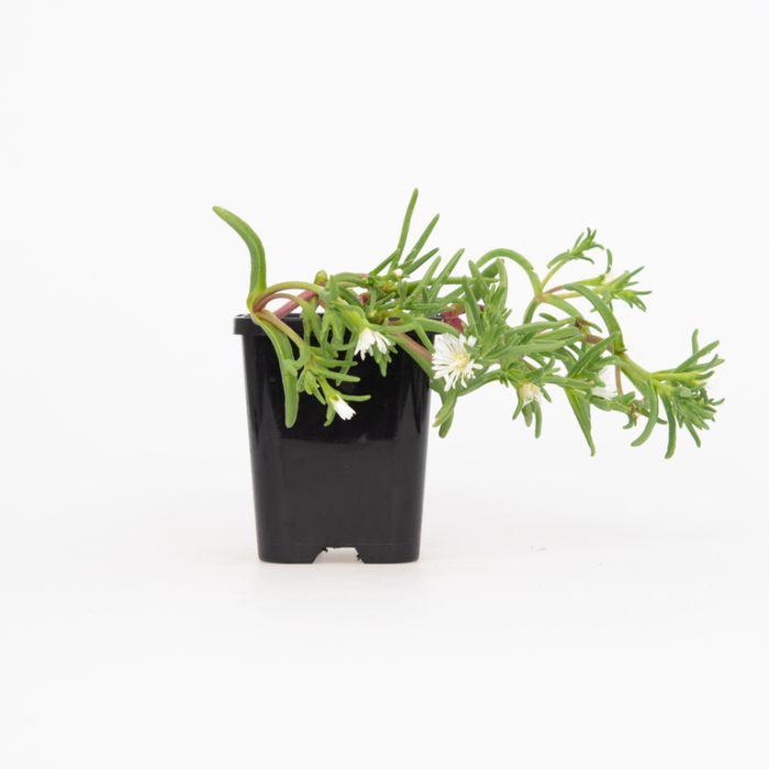 Delosperma White  ] 1648380085 - Flower Power