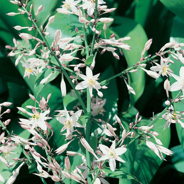 White Knight Renga Lily  ] 1649180200P - Flower Power