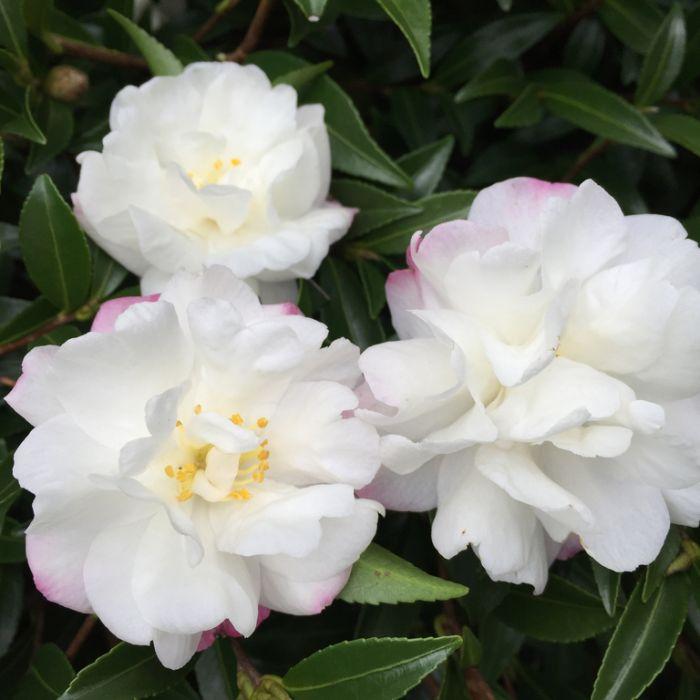 Camellia Mini Paradise Little Liane  ] 1651560190P - Flower Power