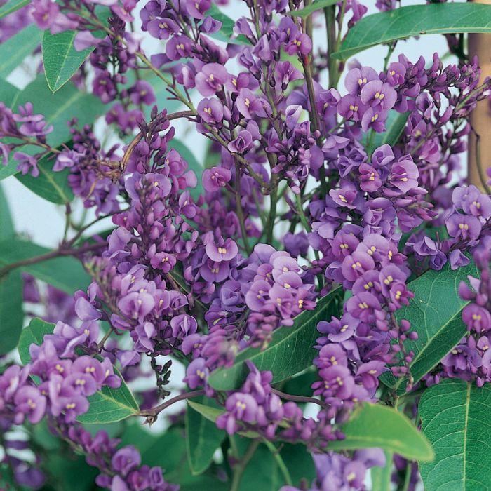 Hardenbergia Happy Wanderer  ] 1663650140P - Flower Power
