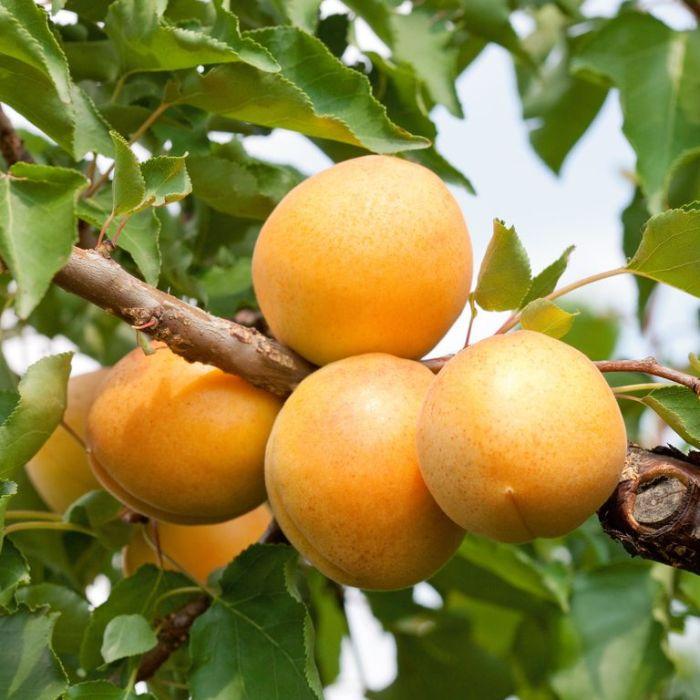 Apricot Trevatt  ] 1670000250 - Flower Power