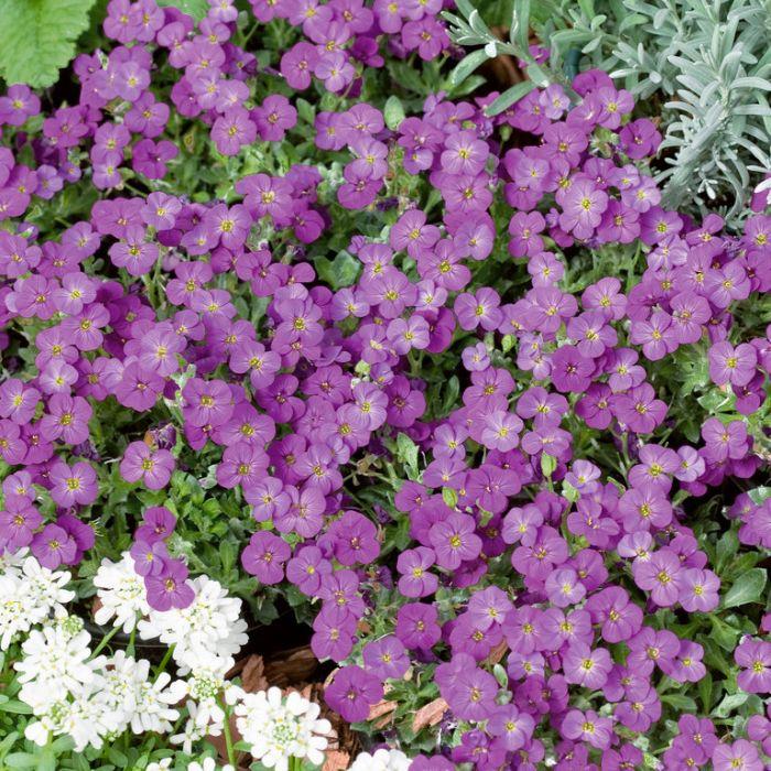 Aubrieta Axcent Lilac  ] 1673700140 - Flower Power