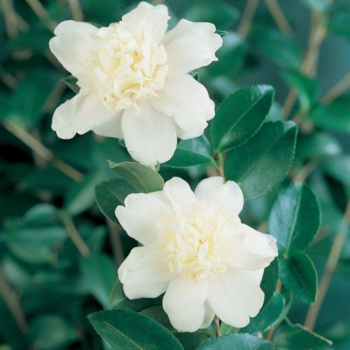 Camellia Sasanqua Lucinda Alba  ] 1673890190P - Flower Power