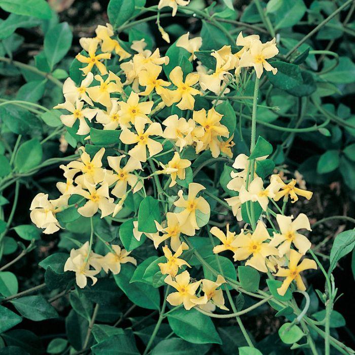 Trachelospermum Asiaticum  ] 1707600120P - Flower Power