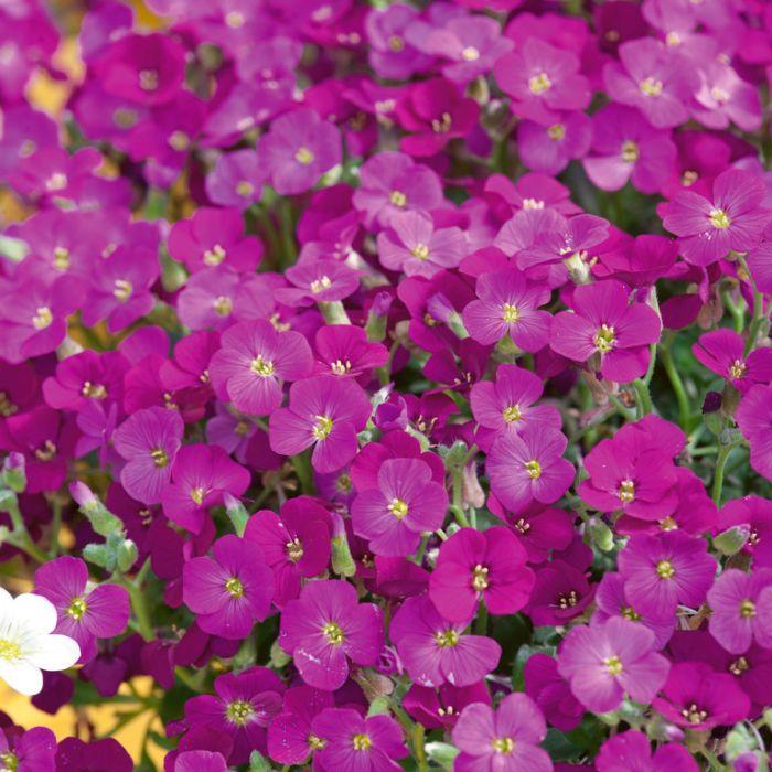 Aubrieta Axcent Dark Red  ] 1728990140 - Flower Power