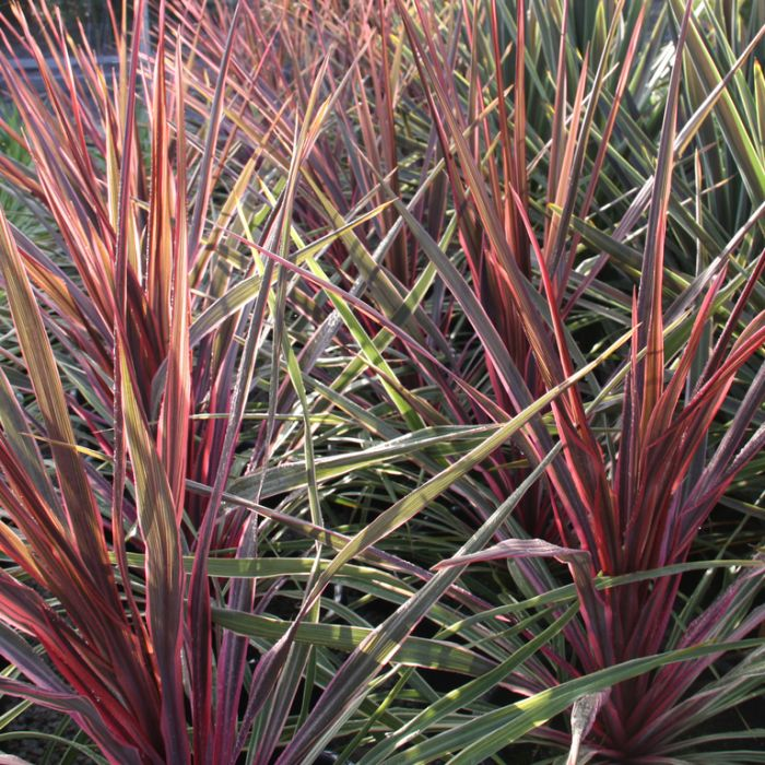 Cordyline Can Can  ] 1729520200P - Flower Power