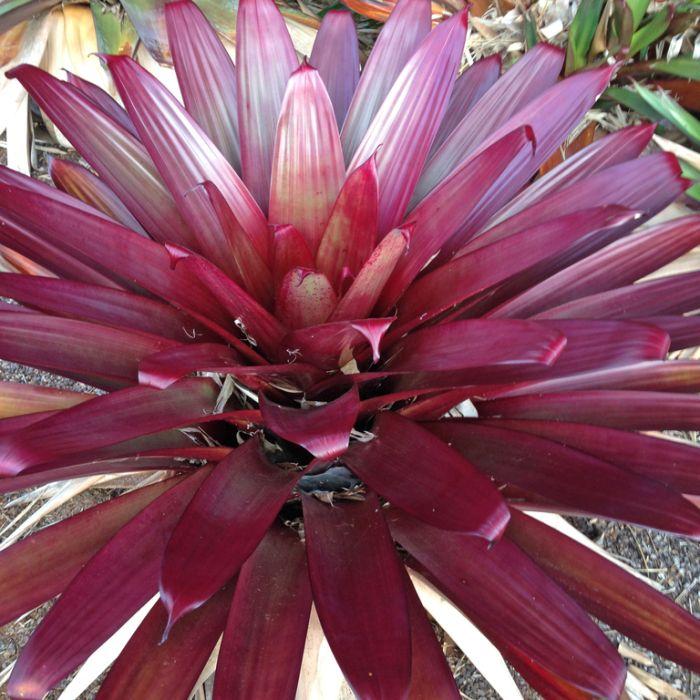 Bromeliad Divine Plum  ] 176192P - Flower Power