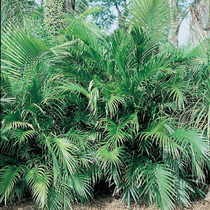Cascade palm  ] 178031P - Flower Power