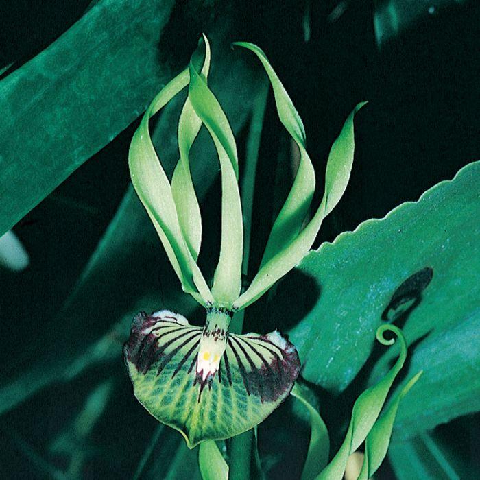 Encyclia Cochleata 'Green Hornet' Orchid  ] 178678 - Flower Power
