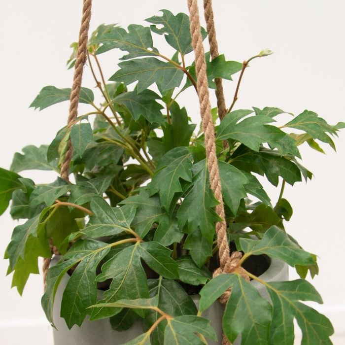 Cissus Ellan Danica Hanging Basket  ] 178763P - Flower Power