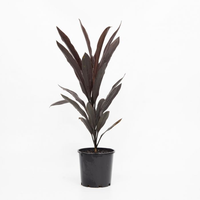 Caruba Black Cordyline  ] 179776P - Flower Power