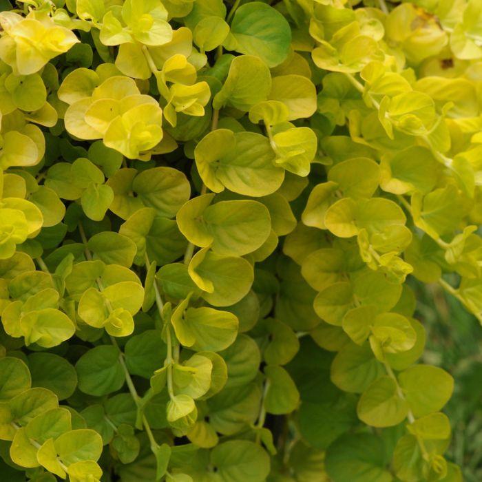 Lysimachia 'Goldilocks' Hanging Basket  ] 1841500017P - Flower Power
