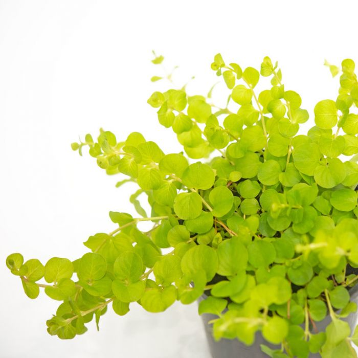 Lysimachia Goldilocks  ] 1841500140 - Flower Power