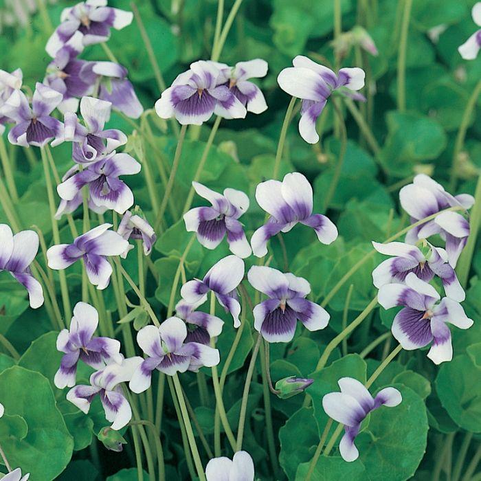 Native Violet Hanging Basket  ] 187048 - Flower Power