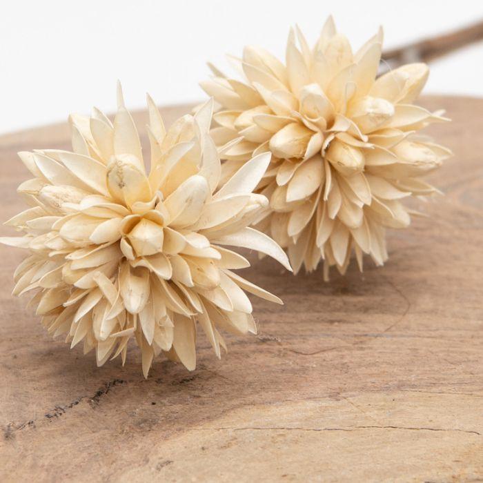 Dried Magnolia White  ] 189764 - Flower Power