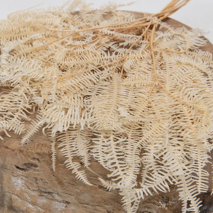 Dried Tree Fern Natural  ] 189769 - Flower Power