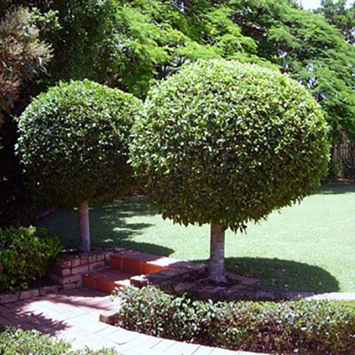 Ficus Flash Topiary Standard  ] 189811 - Flower Power