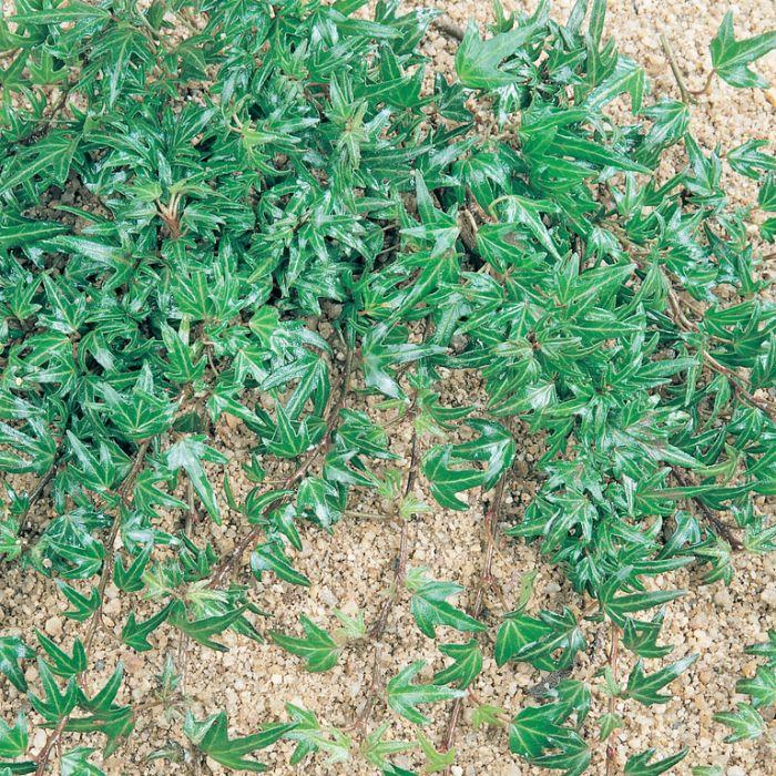Hedera Needlepoint Ivy  ] 190037 - Flower Power