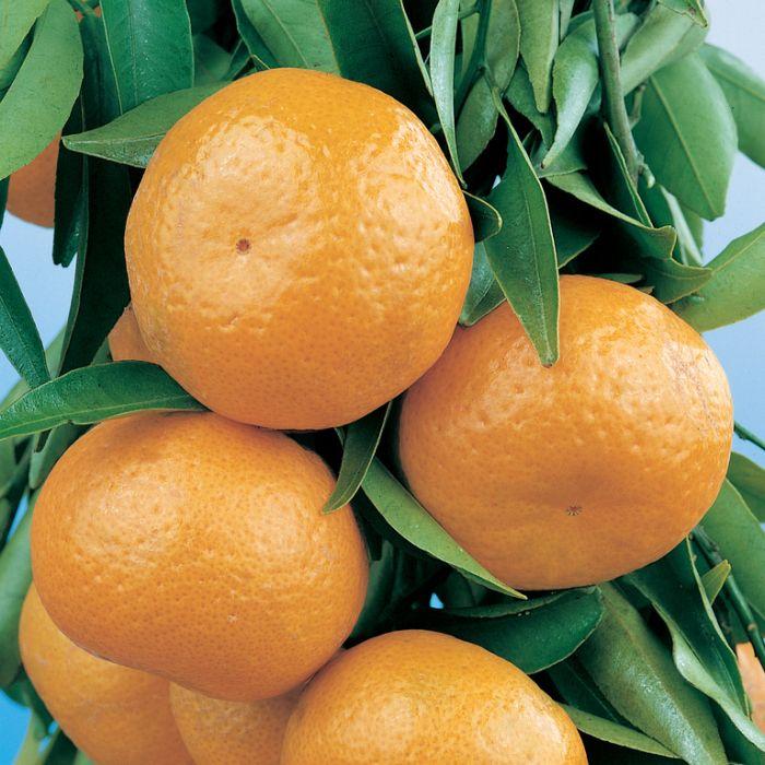 Imperial Mandarin Advanced Espalier  ] 190071 - Flower Power