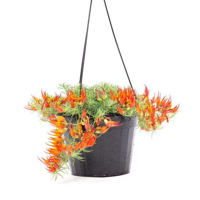 Lotus 'Gold Flash' Hanging Basket  ] 1968100017P - Flower Power