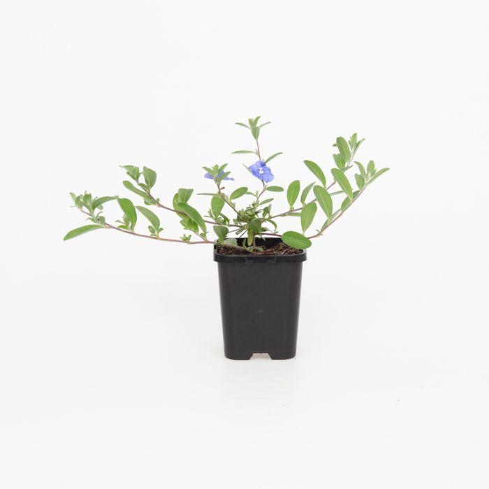 Evolvulus Sapphire  ] 2238500085P - Flower Power