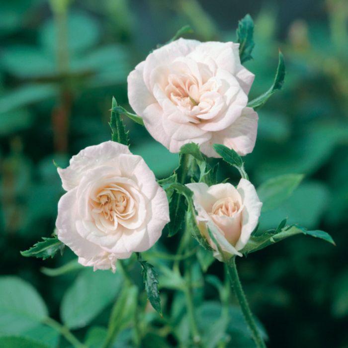 Cecile Brunner Rose  ] 2774800200 - Flower Power