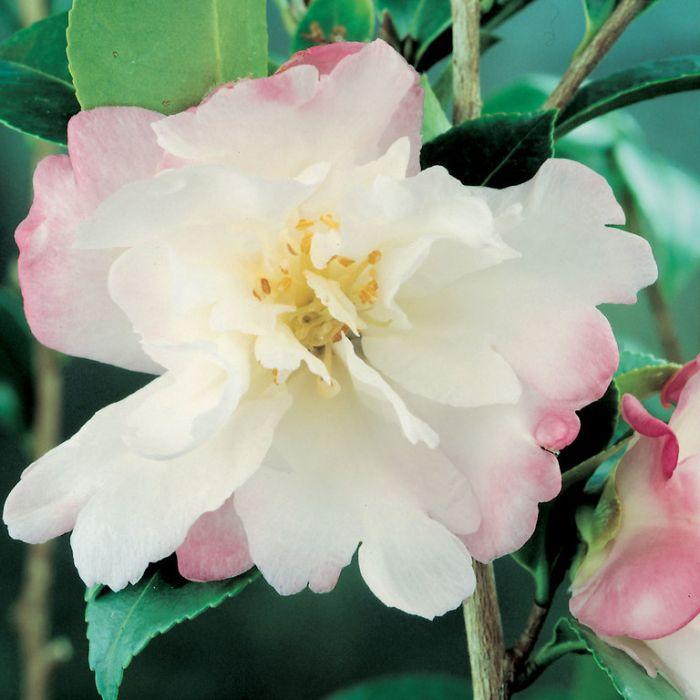 Camellia Sasanqua Beatrice Emily  ] 2860100190P - Flower Power