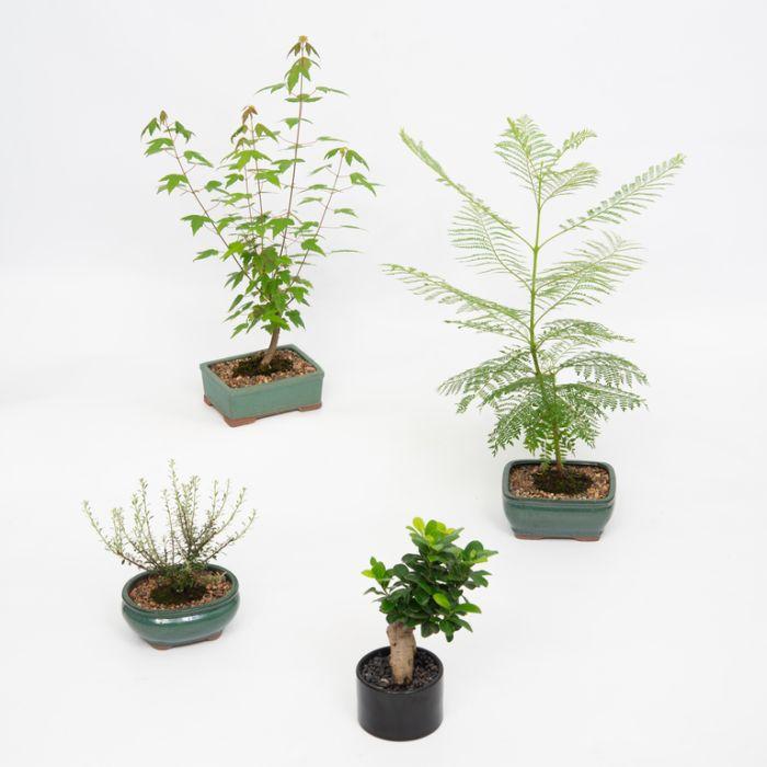 Assorted Bonsai  ] 347580P - Flower Power